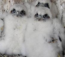 Falconchicks